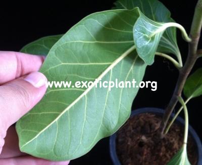 Ficus benghalensis var Krishnae 30