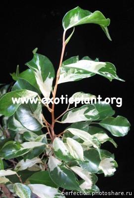 Ficus benjamina  Curly  24