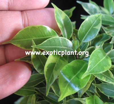 Ficus benjamina  Golden King  Dwarf 35
