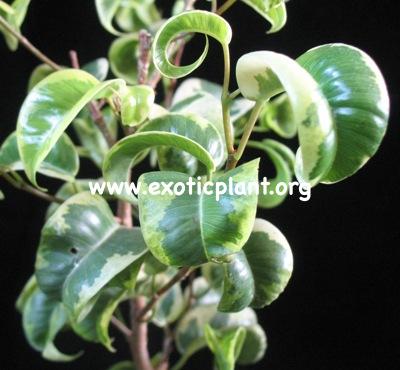 Ficus benjamina  Twisted  26