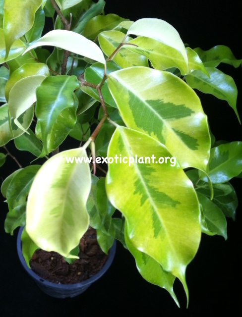 Ficus benjamina  Yellow Gold  23