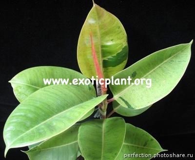 Ficus elastica variegated 35