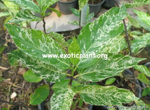 Ficus erecta variegata 75