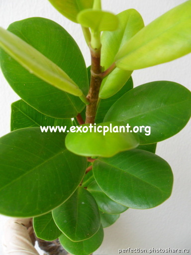 Ficus formosa 12