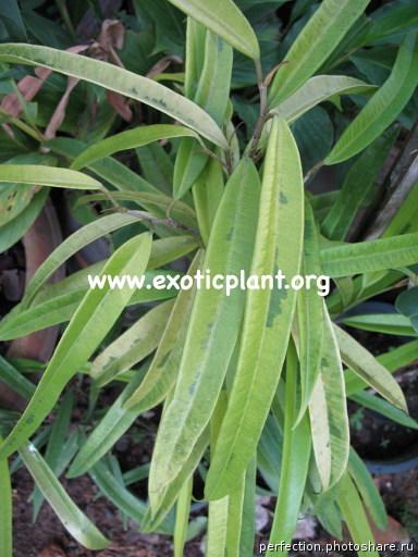 Ficus irregularis  Sunspray  16