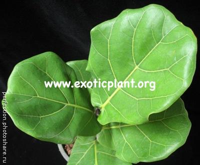 Ficus lyrata (big leaf) 23