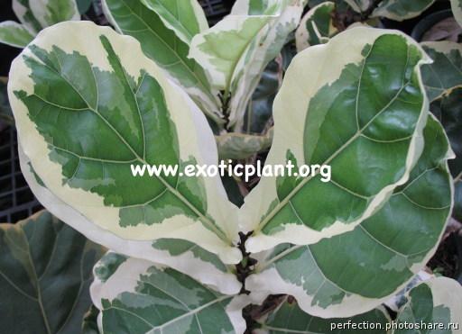 Ficus lyrata variegata 90