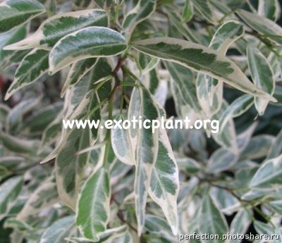 Ficus microcarpa Dwarf albomarginata 30