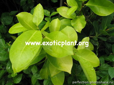 Ficus microcarpa  Pure Gold  20
