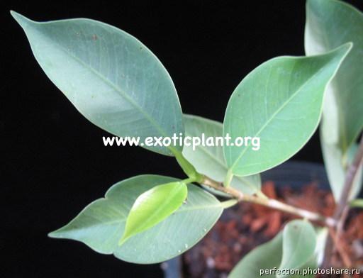 Ficus microcarpa  Silver Blue  20