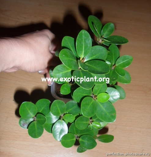 Ficus microcarpa cv Green Island 20