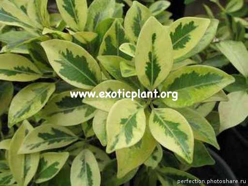 Ficus microcarpa (yellow margin) 20