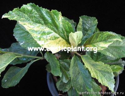 Ficus nota (silver form) 75