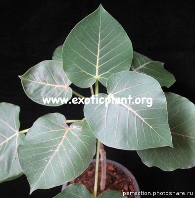 Ficus petiolaris (L) propagated by cutting 75 (выращен из черенка, размер L)
