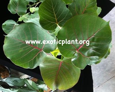 Ficus petiolaris (S) propagated by cutting 45 (выращен из черенка)
