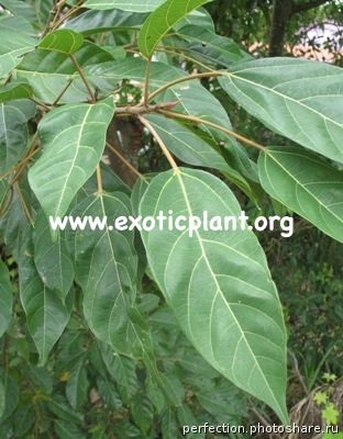 Ficus racemosa (big leaf) (southern Thailand) 25