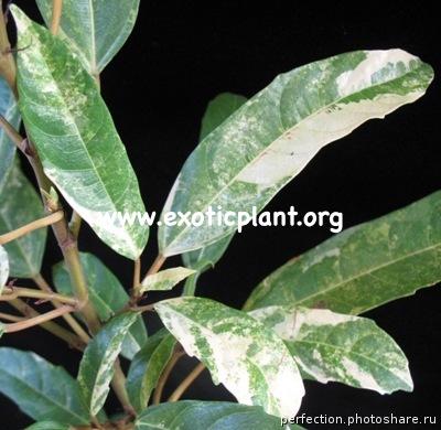 Ficus racemosa variegata 75