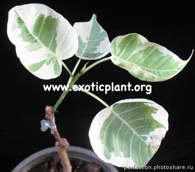 Ficus religiosa variegata 100