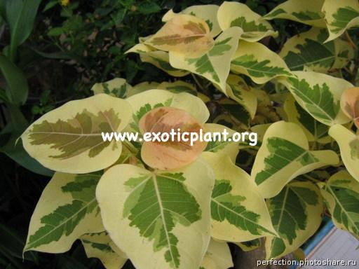 Ficus rumphii (cream) 26