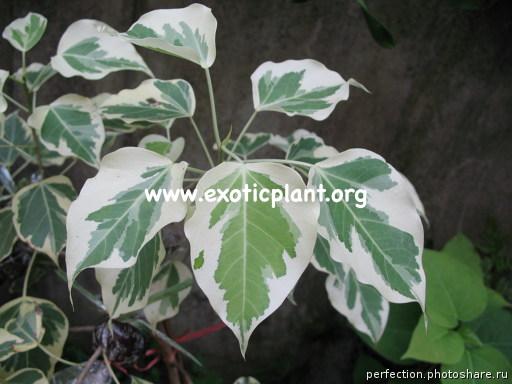 Ficus rumphii (white margin leaf) 20