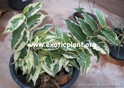 Ficus sagittata albomarginata 30