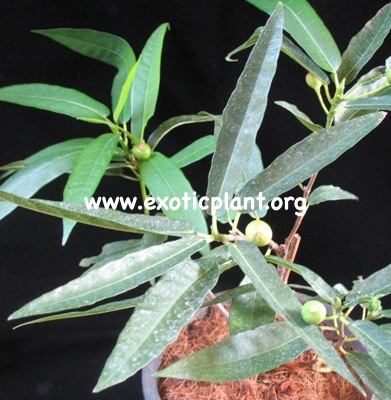 Ficus sp (T40) Japan 40