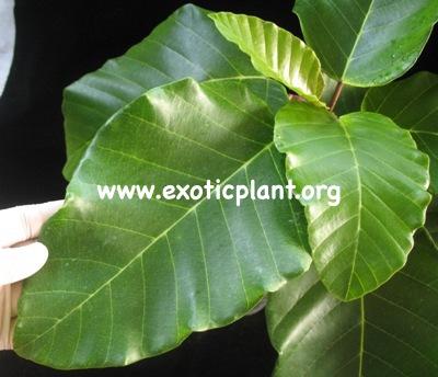 Ficus sp (T42) 35