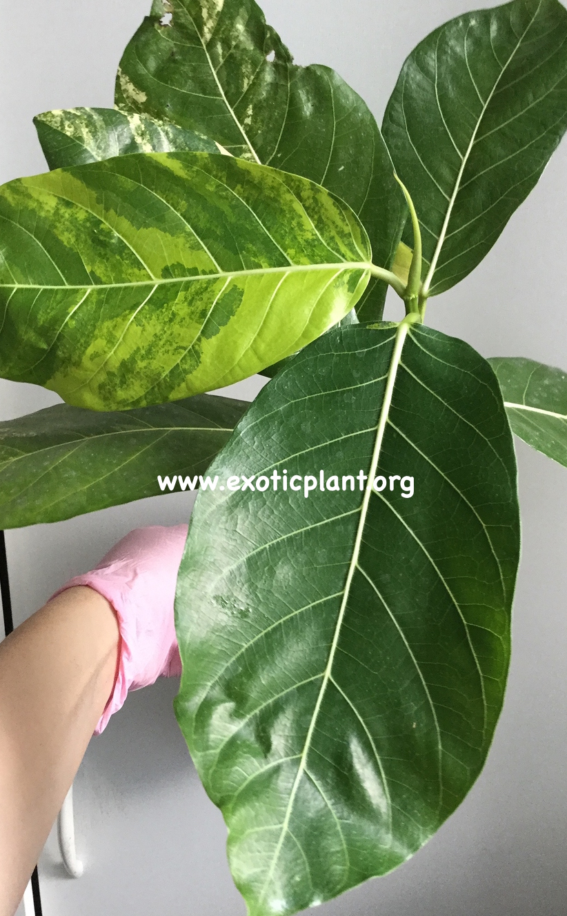 Ficus sp (T45) variegated 50