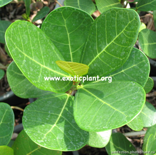 Ficus sp.(T01) Indonesia 26