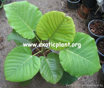 Ficus sp.(T02) Indonesia = Big leaf 35