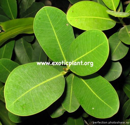 Ficus sp.(T05) Thailand 20