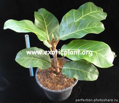 Ficus sp.(T07) Brazil = Ficus trichopoda Brazil 60