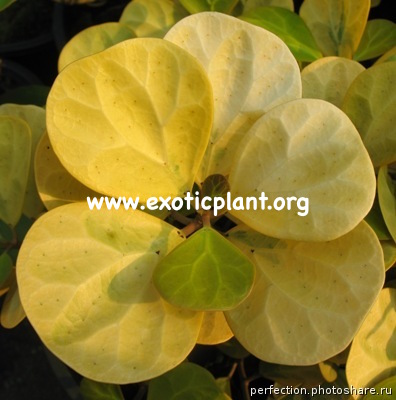 Ficus sp.(T08 ) Golden variegated 20-40