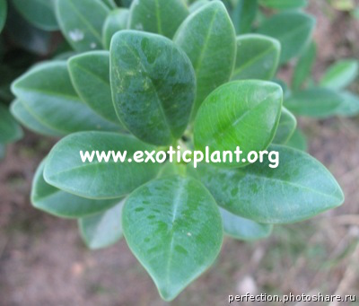 Ficus sp.(T12) thick leaf 16