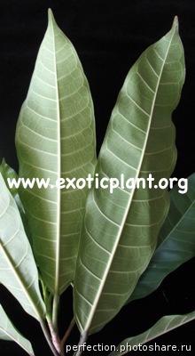 Ficus sp.(T18 ) (Mango leaf) Southern Thailand 26