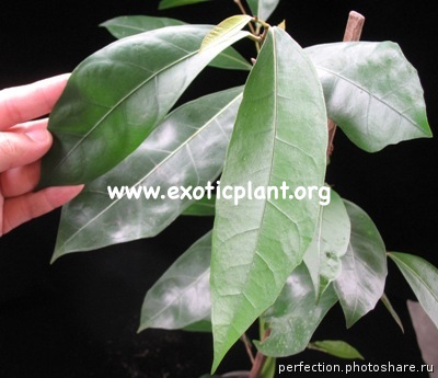 Ficus sp.(T19) Southern Thailand 30