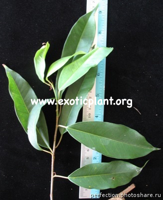 Ficus sp.(T20) Southern Thailand 30