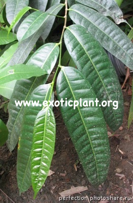 Ficus sp.(T26) 30