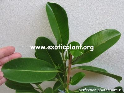 Ficus sp.(T27) 26
