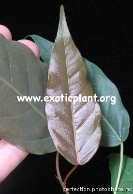 Ficus sp.(T29) Brown leaf Saraburi province Thailand 30