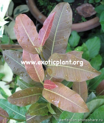 Ficus sp.(T33) Nakorn Pathom Thailand red leaf when young leaf and will change to green when mature leaf 20