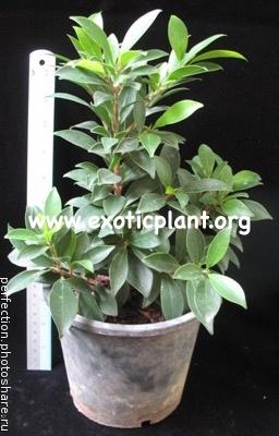 Ficus sp.(T34) 14
