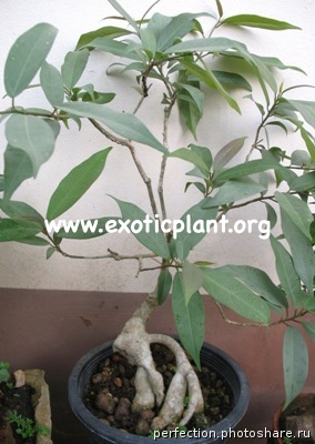 Ficus sp.(T35) (silver leaf) Southern Thailand 45