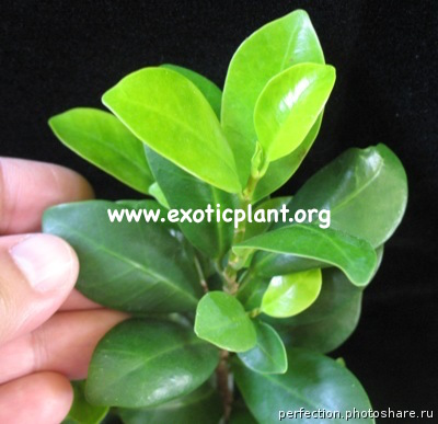 Ficus sp.(T36) Japan 20