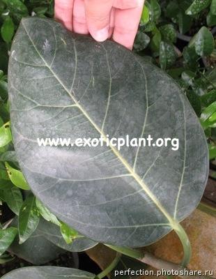 Ficus sp.(T37) Sri Lanka 45