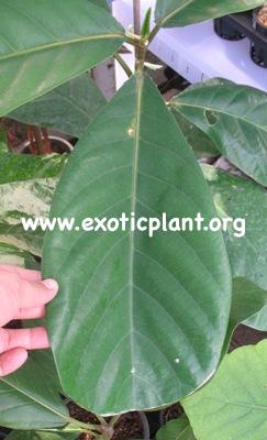 Ficus sp.(T38 ) Khao Yai trilove leave 50