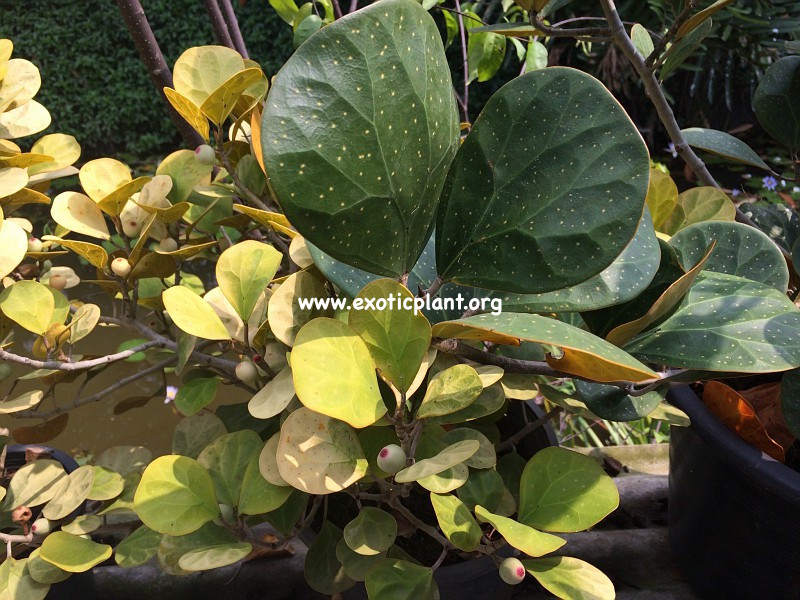 Ficus triangularis 'Big Spotted  15-30