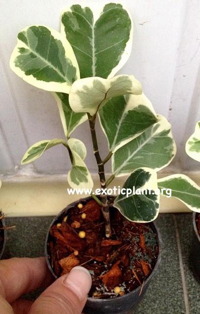 Ficus triangularis  White  (S) 20-40