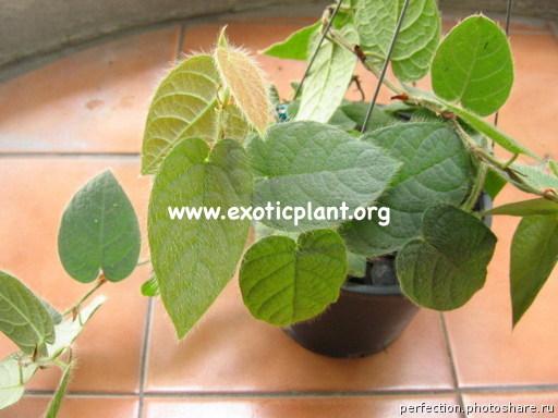Ficus villosa 14