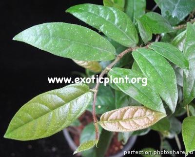 Ficus villosus (narrow leaf) 14
